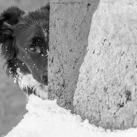 by Danielle Mettling - Animals - Dogs Playing (  )