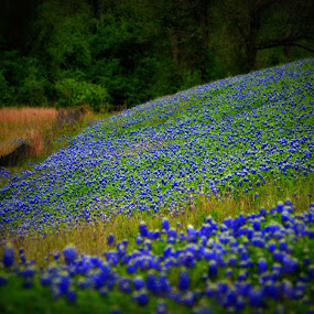 Bluebonnet Hill by Rhonda Kay - Landscapes Prairies, Meadows & Fields