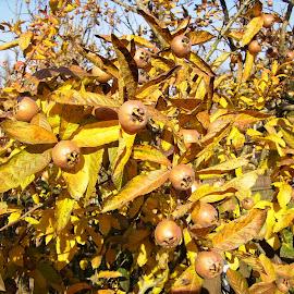 medlar by Marija Čaušić - Food & Drink Fruits & Vegetables ( sky, tree, snow, white, berries )