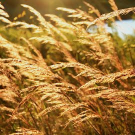 Stay Golden by Nancy Tonkin - Landscapes Prairies, Meadows & Fields ( nature, sunset, landscape, golden, fields )