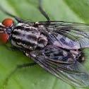 Camouflaged Flesh Fly
