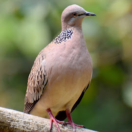 Spotted Dove by Simon Anon Satria - Animals Birds ( bird, burung, tekukur biasa, spotted dove, tekukur, indonesia bird,  )