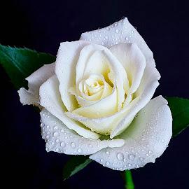 by Trent Eades - Flowers Single Flower