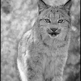Lynx by Dave Lipchen - Black & White Animals ( lynx )