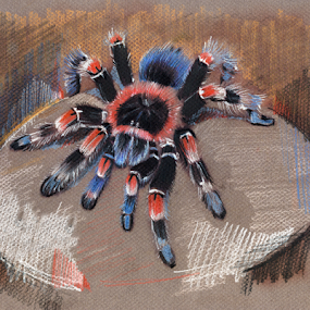 Mexican Redknee Tarantula by Daliana Pacuraru - Drawing All Drawing ( daliana pacuraru, tarantula, mexican tarantula, drawing, redknee )