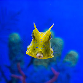 Cow Fish by Sean Heatley - Animals Fish ( water, blue, fish, cow, yellow, swimming )
