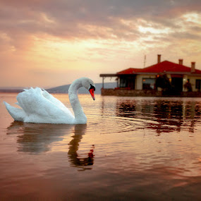 Swan lake by Χρήστος Λαμπριανίδης - Animals Birds (  )