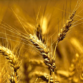 Our daily bread... by Foto Grebeči - Nature Up Close Other plants ( nature, yellow, light )