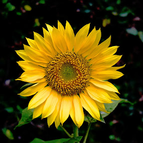 Sunflower by Musashi Vai - Novices Only Flowers & Plants