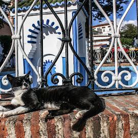 chaouen cat by Elkadiri Abdelmalek - Animals - Cats Portraits ( cat, city, animal )
