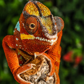 Rusty by Garry Chisholm - Animals Reptiles ( orange, lizard, panther chameleon, chameleonphotography, garrychisholm, reptile, mother nature )