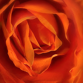 by Patrick Hayes - Nature Up Close Flowers - 2011-2013 ( rose, orange, hayes, maco, flower )