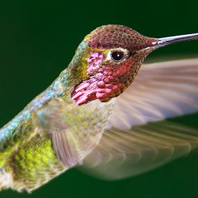 Shimmer by Briand Sanderson - Animals Birds ( bird, flight, red, wings, hummingbird, male, action, anna's hummingbird, motion, gorget )