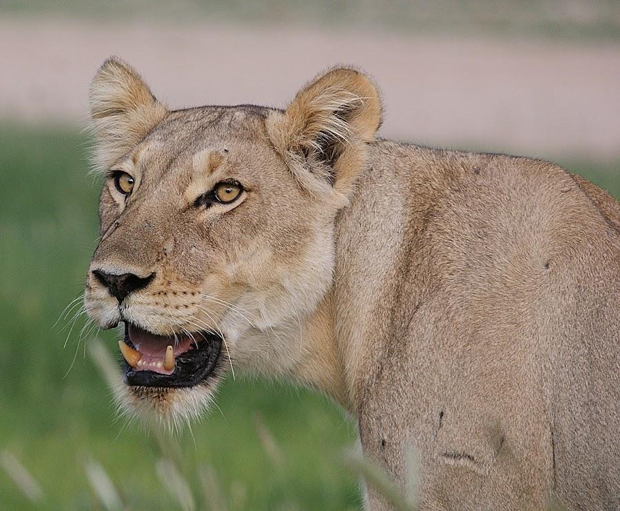 Kalagadi female by Charmane Baleiza - Animals Lions, Tigers & Big Cats ( pride, kalagadi, charmane baleiza, lion, panthera leo, female lion )