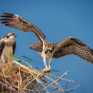 Young-Ospreys2-O-70508.jpg