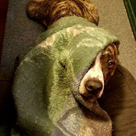 He put himself under the blanket like that, all by himself.  Photo by me. by Janet Young- Abeyta - Animals - Dogs Playing