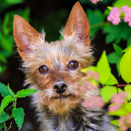 Cindyloo by Briand Sanderson - Animals - Dogs Portraits ( doggie, pet photography, yorkie, silky, yorkshire terrier, pet, terrier, cindyloo, dog, yorky )