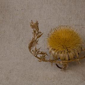 Carlina acaulis by Bojan K - Flowers Single Flower ( slovenia, carlina acaulis, bodeča neža, flower )