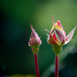Best Buds by Svemir Brkic - Flowers Flower Buds ( red, yellow, rose, garden, buds )