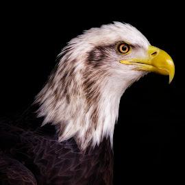 Majesty On Black by Bill Tiepelman - Animals Birds ( eagle, majestic, majesty, bald eagle, wildlife, feathers, shadows, close-up, black background, pride, bird, nature, beak, dark )