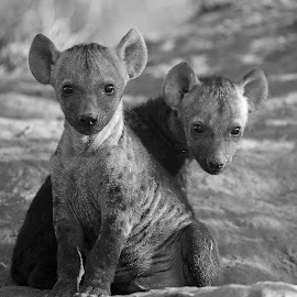 Twins! by Anthony Goldman - Black & White Animals ( wild, nature, wildlife, cubs, den, ulusaba, hyena, mammal )