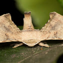 Male Bombycid Silkmoth