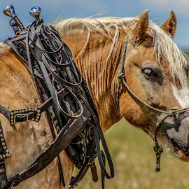 team horse in wait by Jacklynn Matthews - Animals Horses ( draft, pony, harness, western, 06-28-14 )