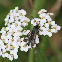 Fireweed Clearwing Moth