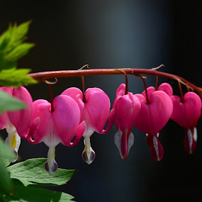 Bleeding Hearts  by William Lallemand - Nature Up Close Flowers - 2011-2013 ( green, pink, brown, blue. white )