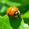 Asian ladybeetle