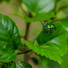 Green and Gold by Tamal Das - Animals Insects & Spiders ( nature, green, beauty, gold, leaf, golden, beetle )