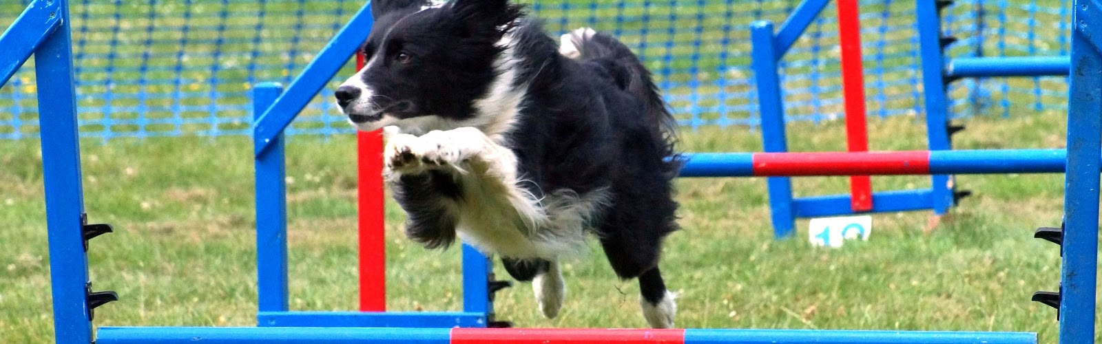 A border collie jumping over a pole during a dog show