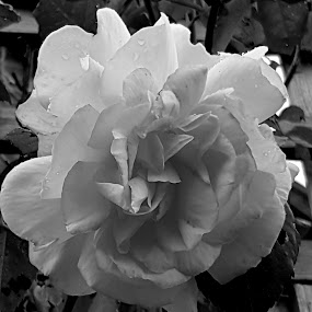 by Di Fone - Black & White Flowers & Plants