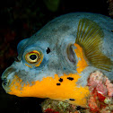 Dogfaced Pufferfish