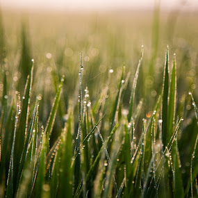 Light and dew by Karthikeyan Chinnathamby - Nature Up Close Leaves & Grasses ( canon, canon5d, grass, paddy, green, dew, chinnathamby, travel, sunlight, close up, sun, macro, nature, chinna, karthikeyan, india, sunrise, tamilnadu )