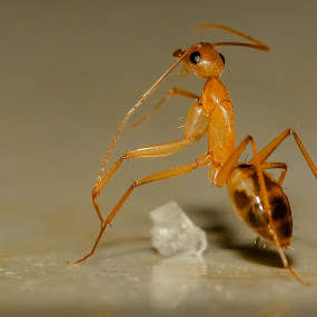 Ant & Sugar  by Mohamed Nasser - Animals Insects & Spiders (  )
