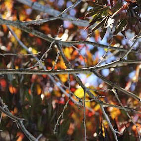 Branched light by Juli Paul - Nature Up Close Trees & Bushes ( blue sky, fall colors, fall, branch, twig, leaves, light )
