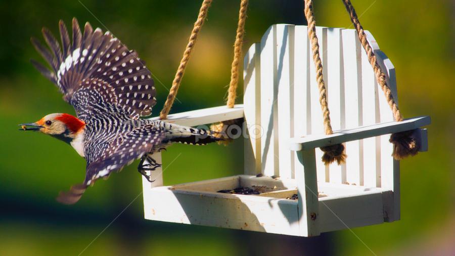 Red-Bellied Woodpecker - Flight by Bill Tiepelman - Animals Birds ( seed, bird feeder, feeding woodpecker, feathers, flying woodpecker, flight, fly, wings, flying bird, beak, woodpecker, swing, red-bellied woodpecker, feeder,  )