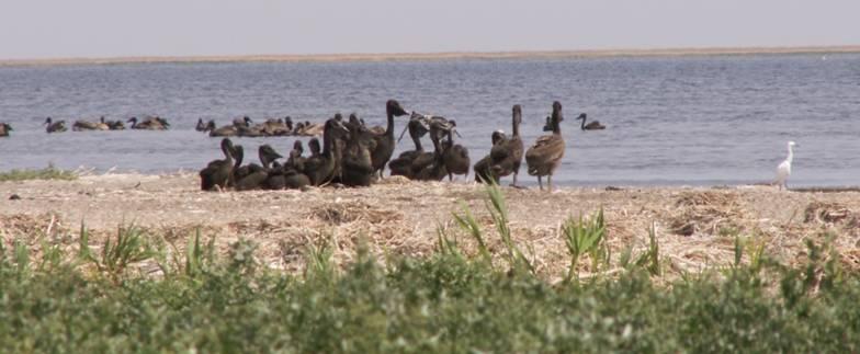 Молоді пелікани на острові Орлов