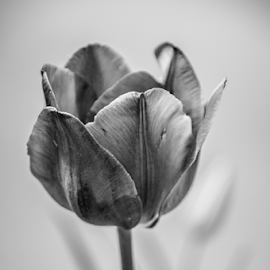 After Hours by Myra Brizendine Wilson - Black & White Flowers & Plants ( multicolor tulips, spring flowers, nature, black and white, blooms, tulip, bloom, trip, tulips, flowers, spring,  )