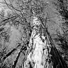 Armstrong Woods #1 by Barbara Brock - Nature Up Close Trees & Bushes ( redwood trees, forest, large trees, black and white trees, woods, huge trees )