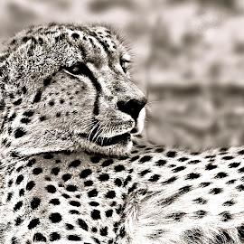 Cheetah by Pieter J de Villiers - Black & White Animals