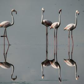Flamingos  by Balasubramanian Velu - Animals Birds ( pallikaranai marsh, pallikaranai, flamingoes, black winged stilt, birds, chennai, bird sanctuary )