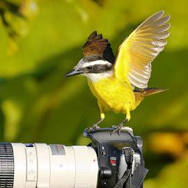 Bem te vi! by Itamar Campos - Animals Birds