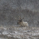 Porcupine Caribou / Reindeer