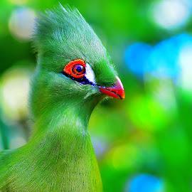 bird by Nicolai Tolstoguzov - Animals Birds ( beautiful, green, bird, bokeh, colorful,  )