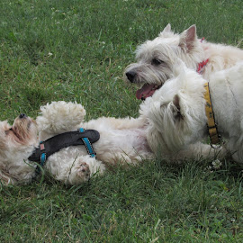 Copper, Cooper and MacKenzie by Karen Dayton - Animals - Dogs Playing ( rocky hill, dog park, westie, connecticut, canines, copper, cairn terrier, morkie )
