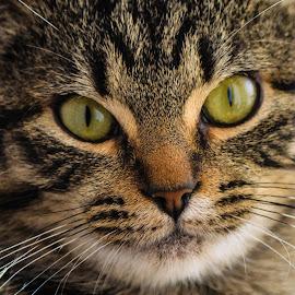 Lilly  by Kathryn Potempski - Animals - Cats Portraits