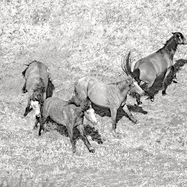 by Randy LaMora - Animals Horses (  )