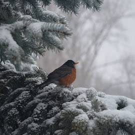 by Elizabeth Pool - Uncategorized All Uncategorized ( holiday, robin, winter, nature, cold, snow )